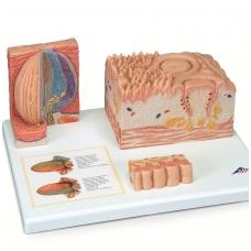 3B MICROanatomy™ serijos liežuvis