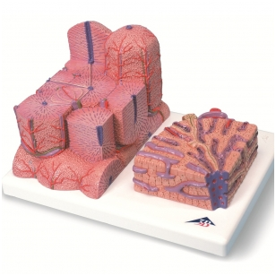 MICROanatomy™ kepenys
