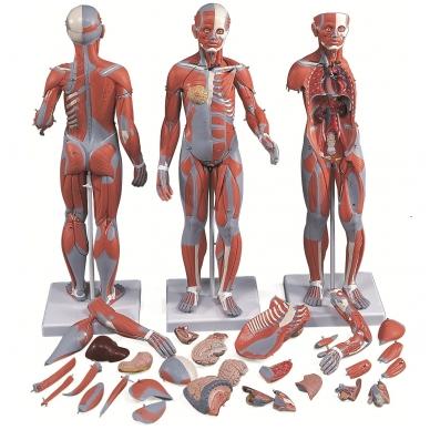 ½ natūralaus dydžio sukomplektuota dvilytė raumenų figūra, 33 dalys