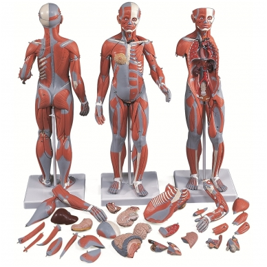½ natūralaus dydžio sukomplektuota moters raumenų figūra, 21 dalis