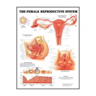 """Plakatas """"Moters reprodukcinė sistema"""""""