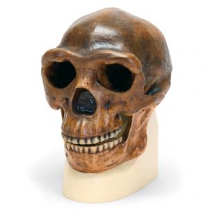 Antropologinės kaukolės modelis -  sinantropas