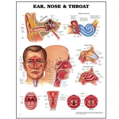 """Anatomijos plakatas """"Ausis, nosis ir gerklė"""""""