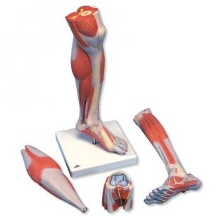 Apatinė kojos dalis su nuimamu keliu (3 dalys; natūralaus dydžio)