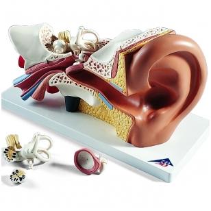 Žmogaus ausies modelis