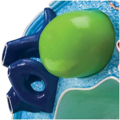 Augalo ląstelės modelis (padidintas 500 000 – 1 000 000 kartų) 3