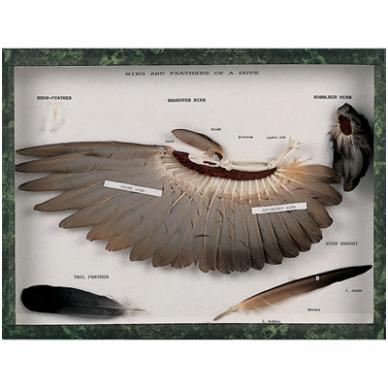 Balandžio sparno ir plunksnų modelis
