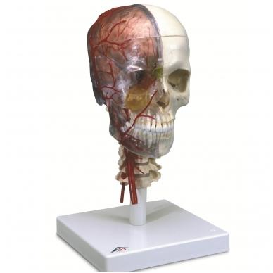 BONElike™ medžiagos žmogaus kaukolės modelis su smegenimis ir stuburo dalimi (viena pusė permatoma, o kita – kaulinga) 2
