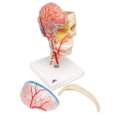 BONElike™ medžiagos žmogaus kaukolės modelis su smegenimis ir stuburo dalimi (viena pusė permatoma, o kita – kaulinga) 3