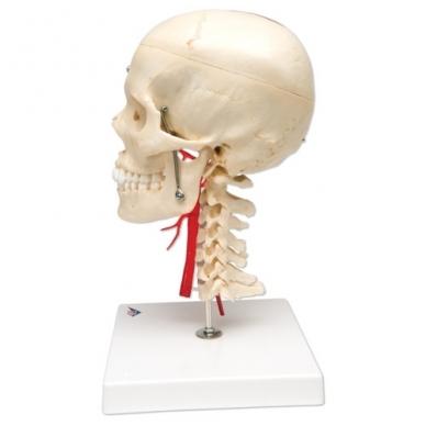 BONElike™ medžiagos žmogaus kaukolės modelis su smegenimis ir stuburo dalimi (viena pusė permatoma, o kita – kaulinga) 4