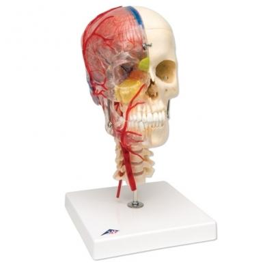 BONElike™ medžiagos žmogaus kaukolės modelis su smegenimis ir stuburo dalimi (viena pusė permatoma, o kita – kaulinga)
