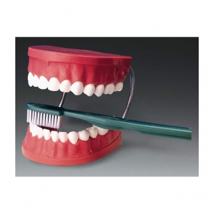 Dantų modelis su dantų šepetėliu