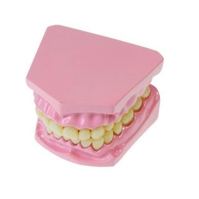 Dantų modelis 2