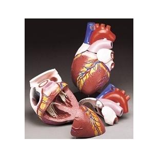 Didelis anatominės širdies modelis