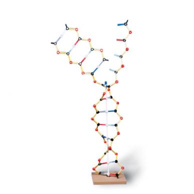 DNA-RNA modelis