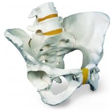 Moters dubens skeleto modelis