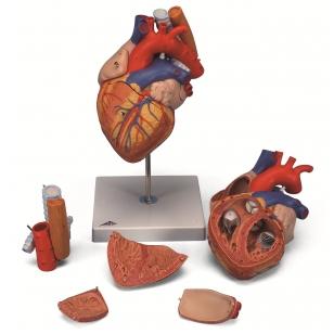 Dvigubo dydžio širdies modelis su stemple ir trachėja, 5 dalys