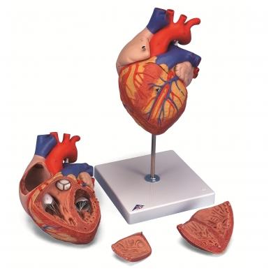 Dvigubo dydžio širdies modelis, 4 dalys