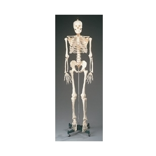 Ekonomiškas skeleto modelis (natūralaus dydžio)