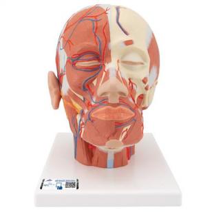 Galvos modelis su raumenimis ir kraujagyslėmis