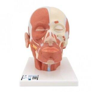 Galvos raumenų modelis
