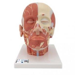 Galvos raumenų modelis su nervais