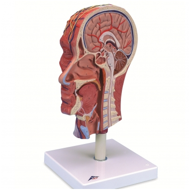 Galvos pusės, su raumenynu, modelis