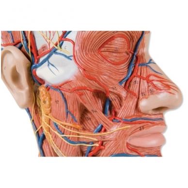Galvos pusės, su raumenynu, modelis 4