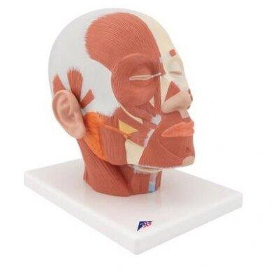 Galvos raumenų modelis 2