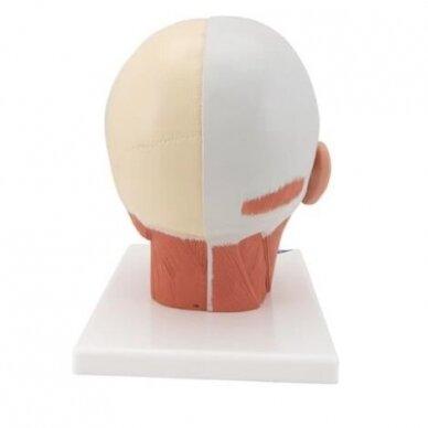 Galvos raumenų modelis 3