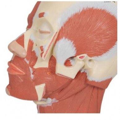 Galvos raumenų modelis 6