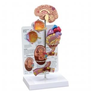 Hipertenzijos mini modelių rinkinys