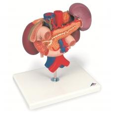 Inkstų modelis su užpakalinės dalies organais viršutinėje pilvo ertmėje (3 dalys)