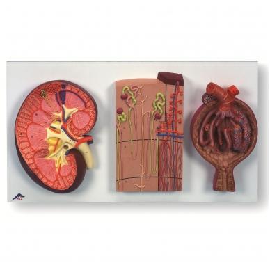 Inkstų dalis, nefronai, kraujagyslės ir inkstų kūnelis