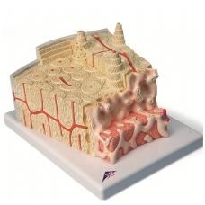 Kaulo struktūros modelis