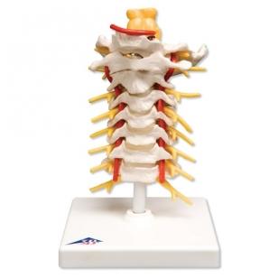 Kaklinė stuburo dalis