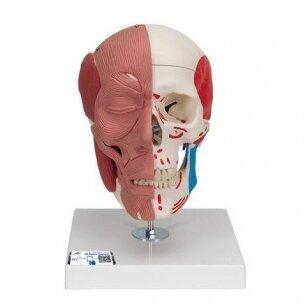 Kaukolės modelis su veido raumenimis