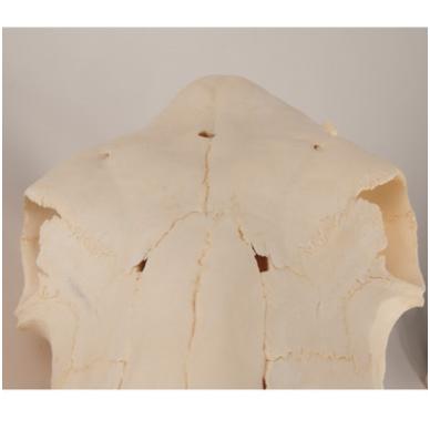 Karvės kaukolės modelis 2