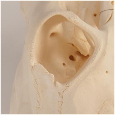 Karvės kaukolės modelis 4
