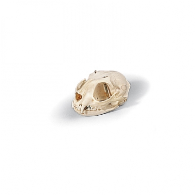 Katės kaukolė modelis