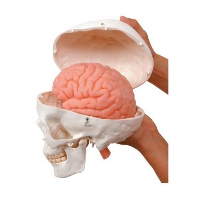 Kaukolės modelis su smegenimis