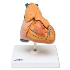Klasikinis širdies modelis su užkrūčio liauka, 3 dalys