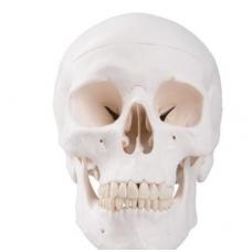 Klasikinis žmogaus kaukolės modelis, 3 dalys