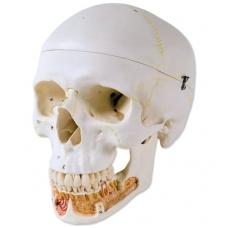 Klasikinis žmogaus kaukolės modelis su atviru apatiniu žandikauliu, 3 dalys