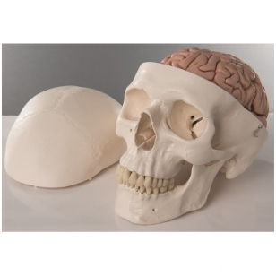 Klasikinis žmogaus kaukolės modelis su smegenimis