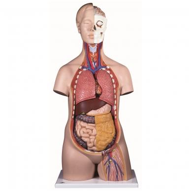 Klasikinis torso modelis (tinkamas abiems lytims), 12 dalių