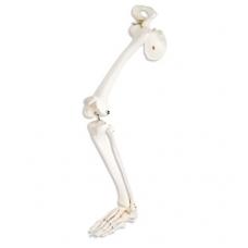 Kojos skeletas su klubikauliu