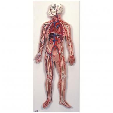 Kraujotakos sistema