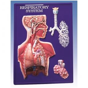 Kvėpavimo sistemos modelis