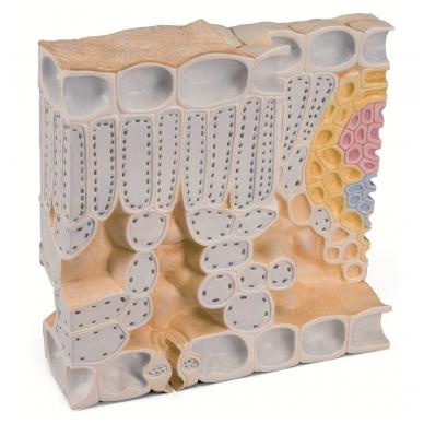 Lapo struktūros modelis